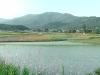 Rice fields alongside the way to Gyeongju